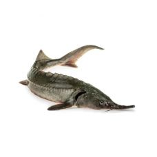Eršketas Sibiro (Sturgeon), neskrost., 1.5-2kg, atvės., Latvija