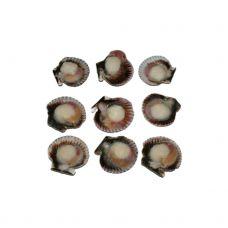 Jūros šukutės, puselės su ikrais (Queen Scallops), 20/30, IQF, 10*750g, Peru