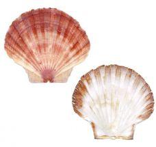 Jūros šukučių geldelės be mėsos, M, 10-12cm, 1*20vnt.